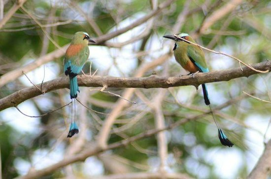 Occidental Papagayo - Adults only: A pair of motmot