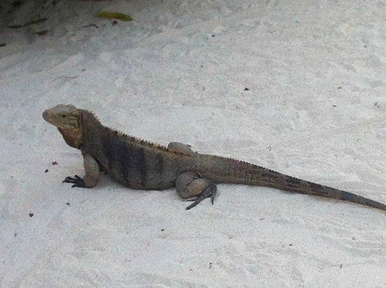 Little Cayman Beach Resort: Resident Iguana