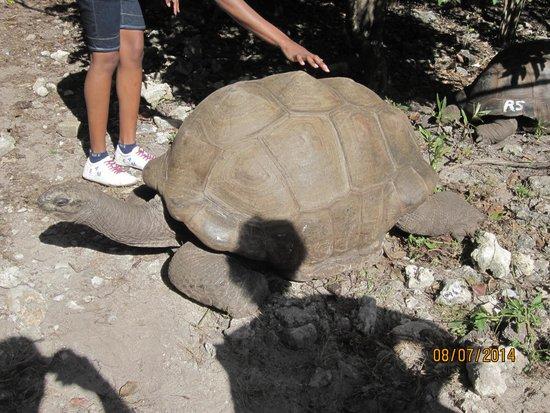 Preskil Beach Resort: Giant tortoise, 95 years old