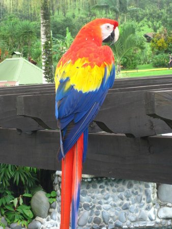 Arenal Springs Resort and Spa: Macaw in the morning...pool area