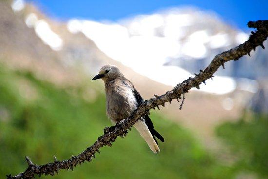 Fairmont Chateau Lake Louise: Subalpine bird life