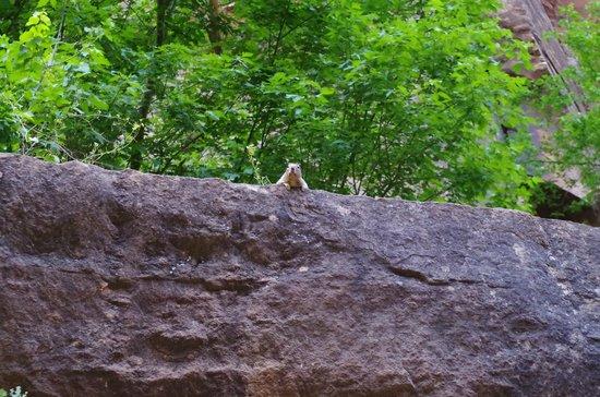 Zion Canyon Scenic Drive: ne donnez pas à manger........