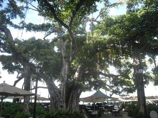 The Famous Banyan Tree Picture Of