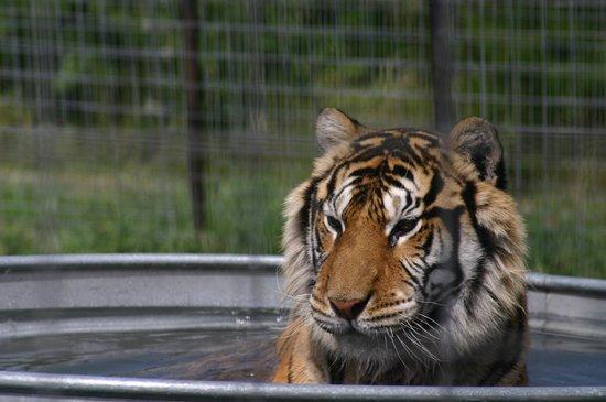 Turpentine Creek Wildlife Refuge: Pool Time