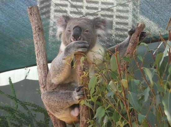 Wild Life Sydney Zoo : Koala
