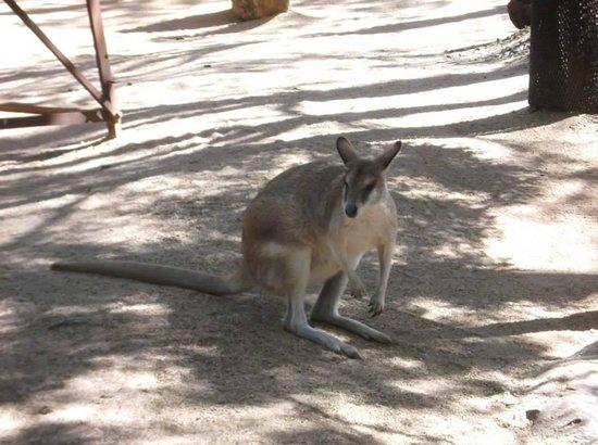 Wild Life Sydney Zoo : Wallaby