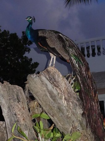 Melia Cayo Guillermo: Peacock, one of 5