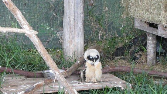 Toucan Rescue Ranch: Un buho herido rescatado recientemente