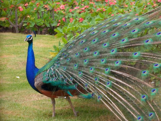 TRS Turquesa Hotel: This beautiful peacock walks freely around the Royal Suites