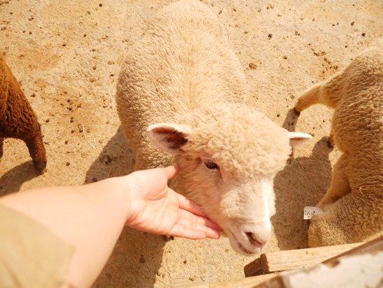 Cingjing Veterans Farm : 摸羊