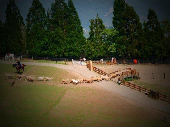 Cingjing Veterans Farm : 趕羊