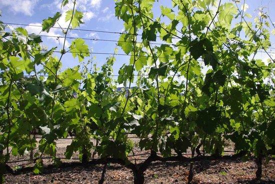 Chateau de Vie: vineyard