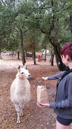 Wikiup Bed and Breakfast: super friendly llama's