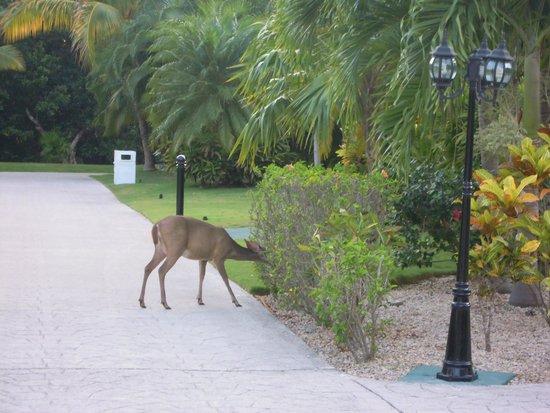 Ocean Maya Royale : Deer