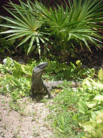 Ocean Maya Royale : Iguana