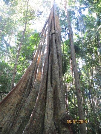 Mapleton, Αυστραλία: Trees along the walk