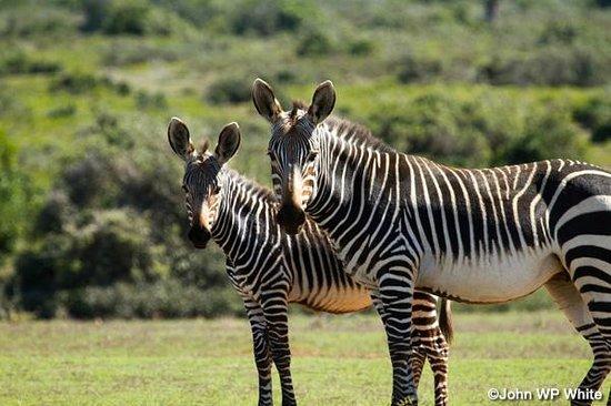 De Hoop Nature Reserve : Cape Mountain Zebra at De Hoop Village