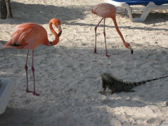 Renaissance Aruba Resort & Casino: Wildlife on the private beach
