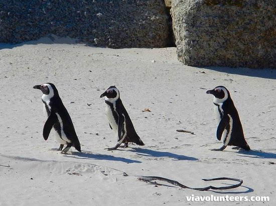 Baz Bus - Day Tours : Penguins off for a waddle at Boulders Beach
