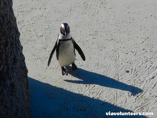 Baz Bus - Day Tours: An African Penguin at Boulders Beach