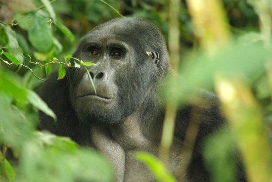 "Bwindi Impenetrable National Park: ""R"" silver back"