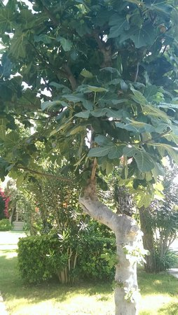 High Life Hotel: Fig tree in the Hotel Grounds