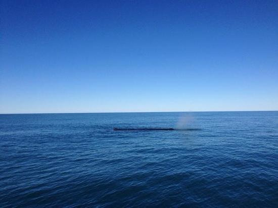 Whale Watch : sperm whale