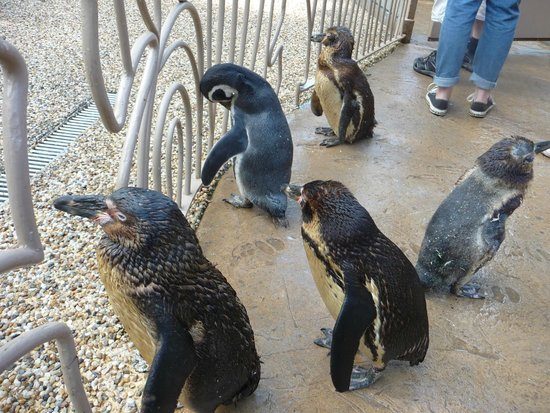 Longleat: walking with the Penguins