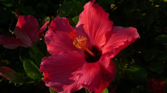 Island Dunes: Hibiscus