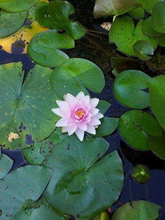 N nuphare photo de les jardins aquatiques saint didier - Les jardins aquatiques saint didier sur chalaronne ...