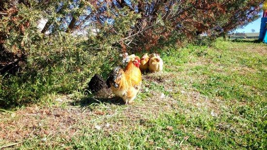 Barcoos Farmstays Bathurst : Chickens