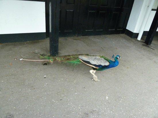 Trago Mills Family Shopping & Leisure Park: peacock around the shops