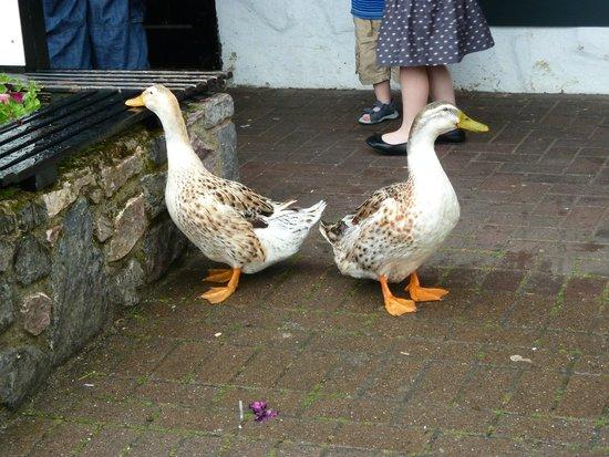Trago Mills Family Shopping & Leisure Park : ducks around the cafe
