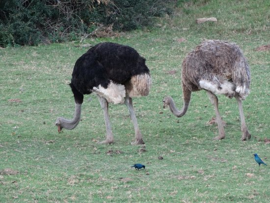 Schotia Safaris Private Game Reserve: Struzzi e blue Starling