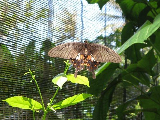 Samui Butterfly Garden: Butterfly