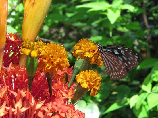 Samui Butterfly Garden : Butterfly