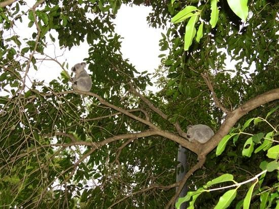 Bungalow Bay Koala Village: Koalas at campsite
