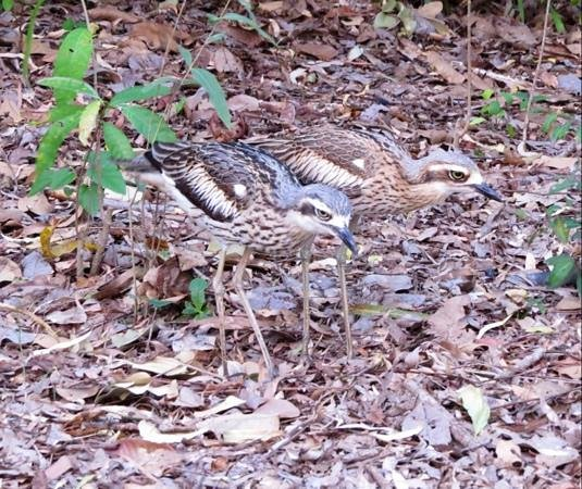 Bungalow Bay Koala Village: Bush Stone-curlew at campsite
