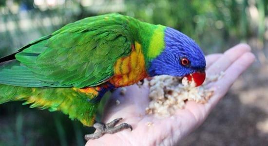 Bungalow Bay Koala Village : Wild Parrots