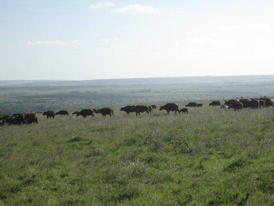 Parc national de Nairobi : buffalo
