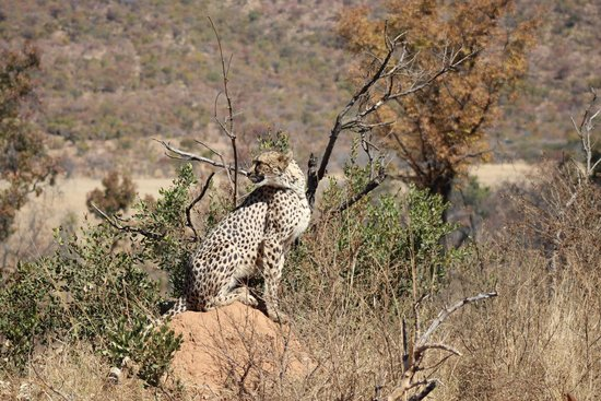 Tshwene Lodge : Cheetah with her cubs tucked away in the bush