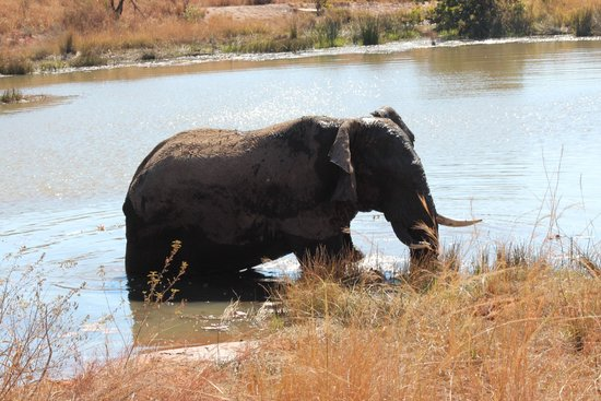 Tshwene Lodge : Bathing elephant snacking on water lilly's