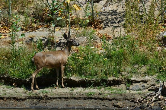 Wildlife all around you. here is a deer we spotted at El Capitan Reservoir