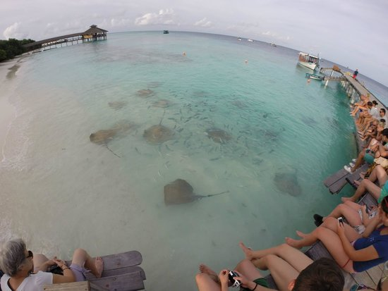 Reethi Beach Resort: Stingray feeding