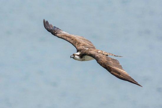 Dering Harbor Inn: Osprey sailing on the air