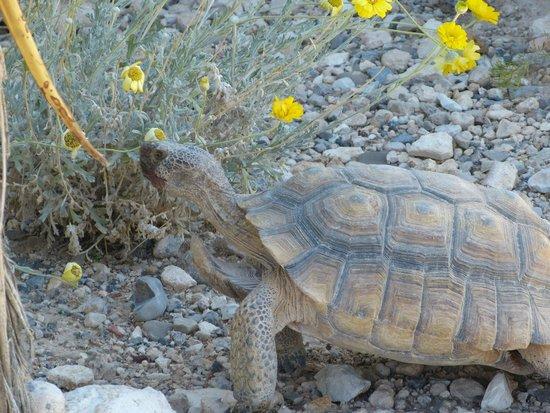 Red Rock Canyon National Conservation Area: echte Schildkröte !