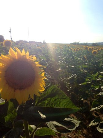 Le Moulin Pastelier : Sunflower fields across from the house