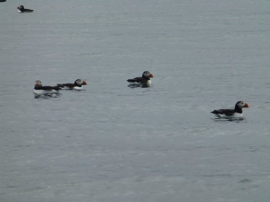 Special Tours - Puffin Express: Puffins on the water