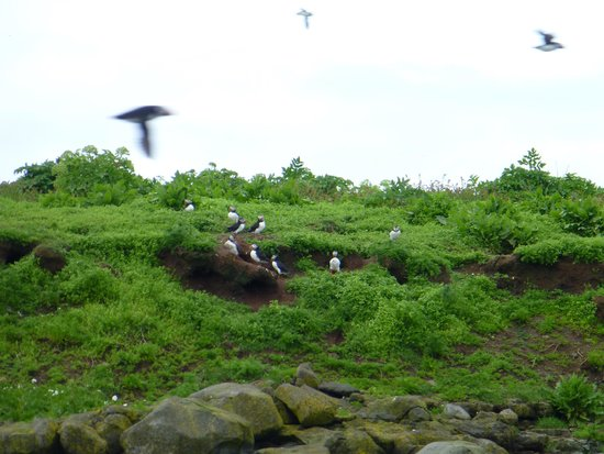 Special Tours - Puffin Express: Puffins on an island