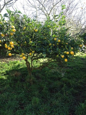 The Sandcastle: Lemon tree at Sandcastle